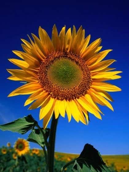Sunflower Rasta