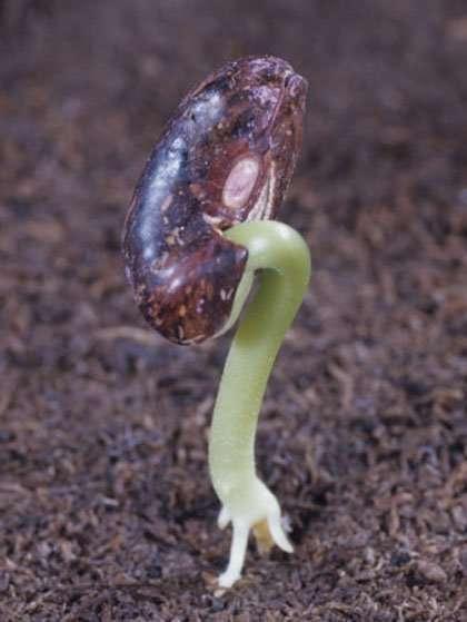 bean_seed.jpg